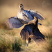 'The Lek' - Sharp-tailed Grouse battle (Tympanuchus phasianellus) by timjhopwood