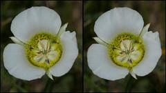 Mariposa Lily, Calochortus gunnisonii