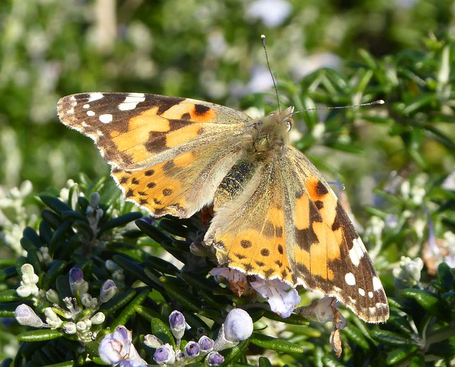 painted lady butterfly in winter