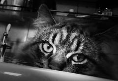 Poutine le chat