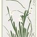 Bunchflower daffodil