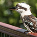 australian kookaburra by rod marshall