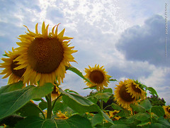 Sunflowers at Grinter Farms, 8 Sept 2015