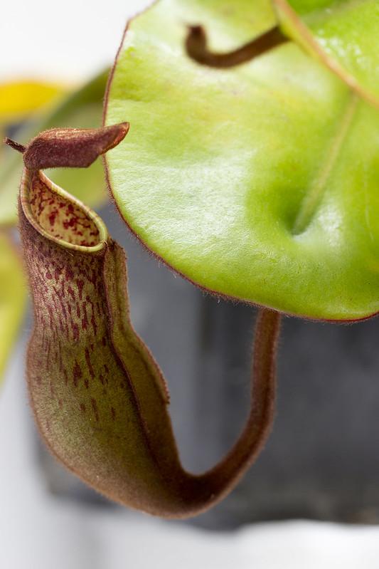 N. clipeata x (clipeata x eymae) BE