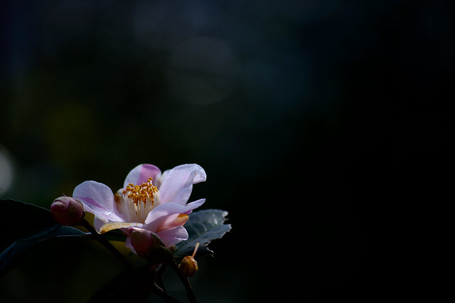 ツバキ Camellia -ヒメノカオリ(姫の香)