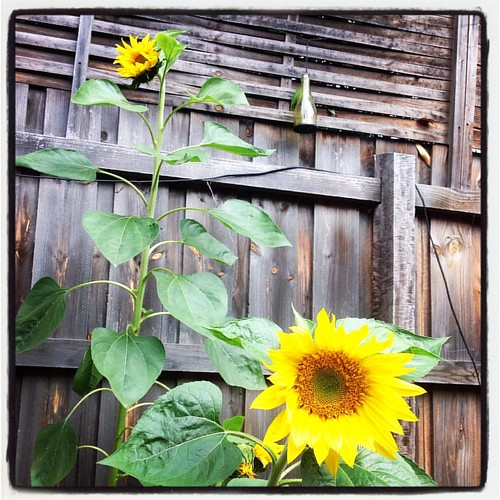 Sunflowers on a grey day
