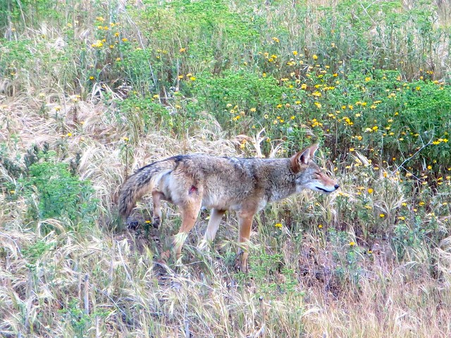 wounded coyote
