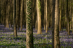 Bluebells and ivy