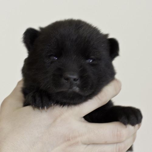 Kumi-Litter5-Day20-Puppy6-Female-a