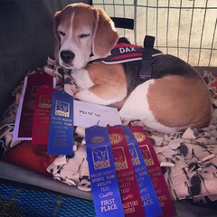 The Impossible Dog rocked it this weekend!! For a dog who can't make time and never Qs, he got pretty blue ribbons!! :heart:️ Friday he won Jumpers, Saturday he got 2nd in Steeplechase - for his 2nd National Qualifying Q! - and today he won Jumpers and he