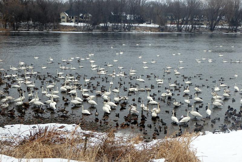 wide photo of dozens of big white birds, plus many smaller darker birds