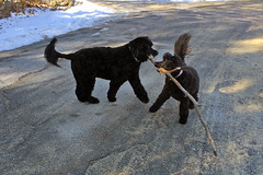 dogs with stick IMG_4819