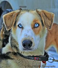-2016 NL 300 Sled Dog Portrait-Blue Ice Eyes W IMG_2493 (2)