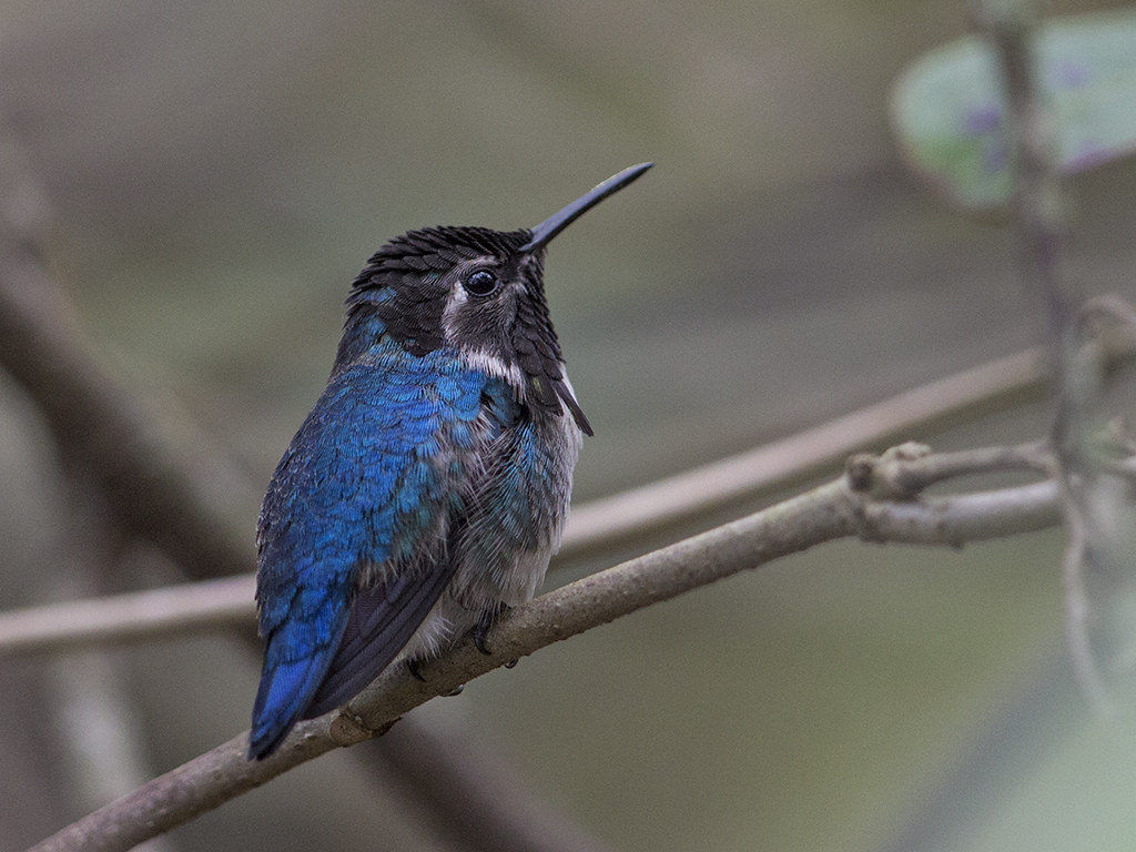 Bee Hummingbird    endemic to Cuba