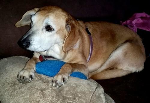 senior hound mix relaxing #rescueddog #adoptdontshop #LapdogCreations ©LapdogCreations