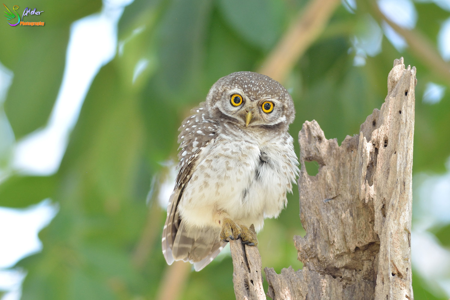 Spotted_Owlet_2982