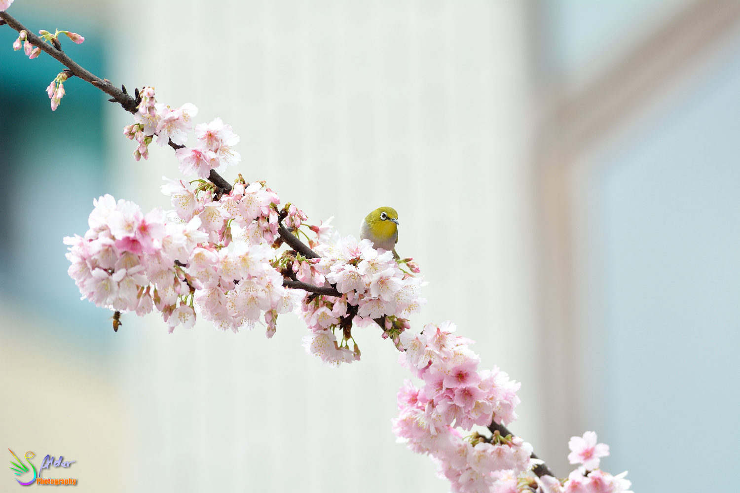 Sakura_White-eye_6419
