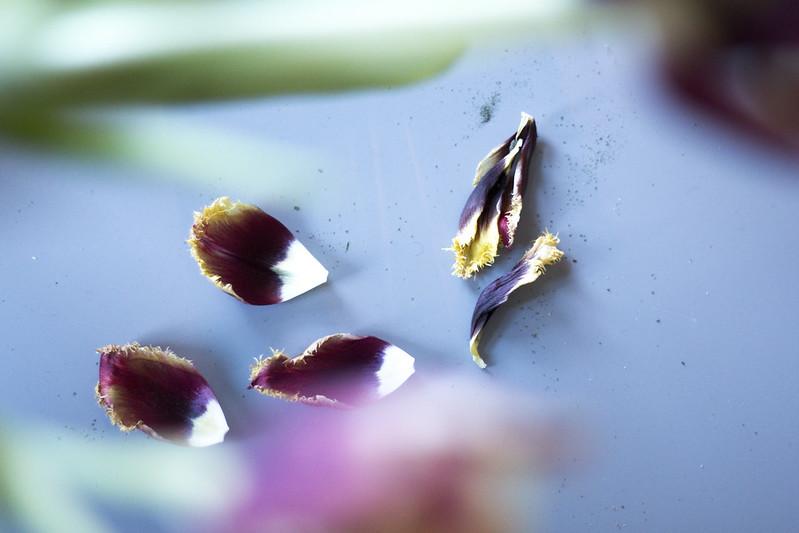 tulip petal
