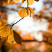 Small photo of American beech