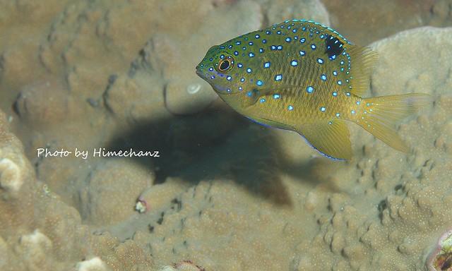 ルリスズメダイの幼魚。この頃までがカワイイ。
