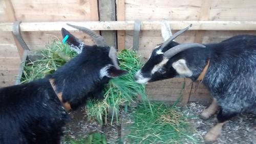 goats Apr 16 1