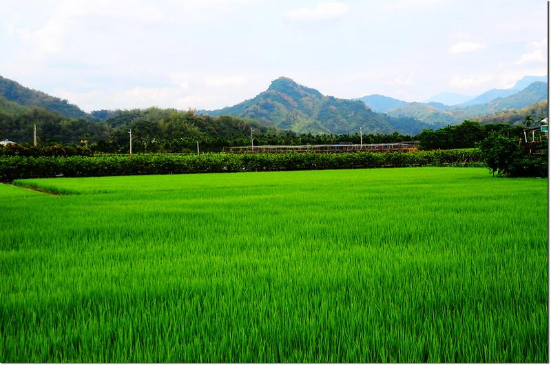 美濃稻田與彩竹(廟後尖山)