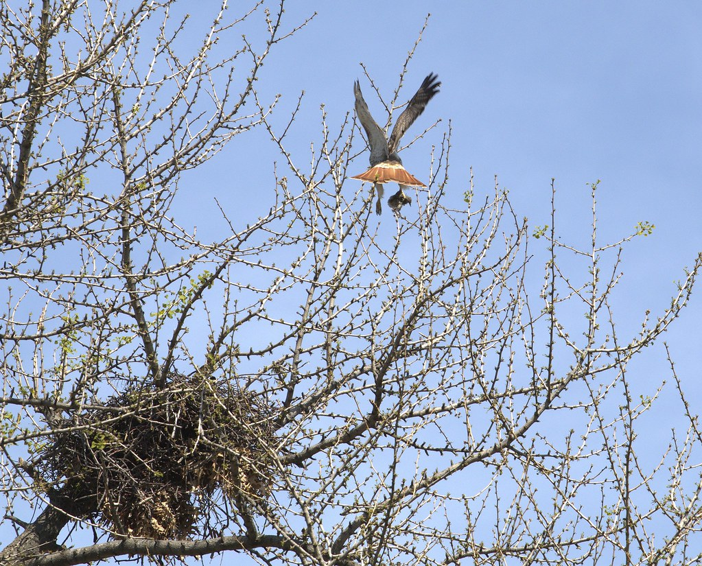 Christo delivers a baby starling to the nest