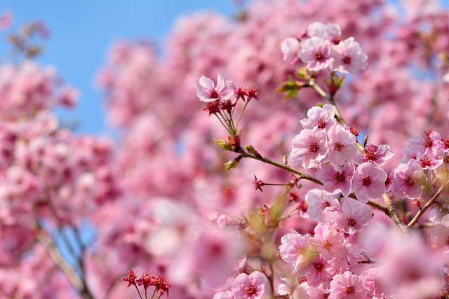 満開の陽光桜