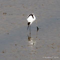 20160409-ROTL2584 Avocet Titchwell RSPB Reserve North Norfolk.jpg