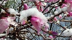 Snow magnolia