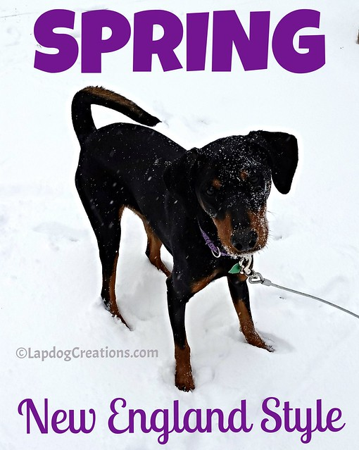SPRING - New England Style - Penny loves the snow #dobermanpuppy #dobermanmix #rescueddog #dogsinsnow #snowdog #puppylovessnow #Lapdog Creations ©LapdogCreations