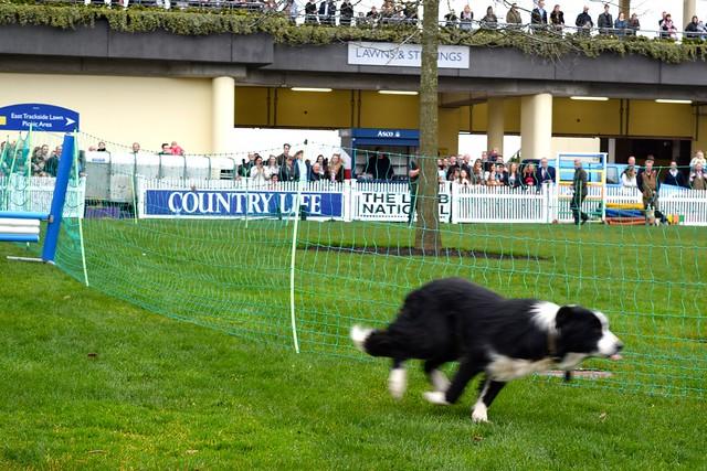 Sheepdog at Ascot | www.rachelphipps.com @rachelphipps