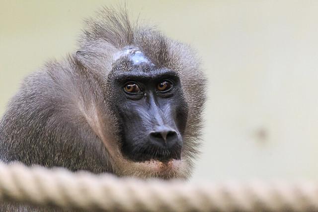 Affe in der Wilhelma