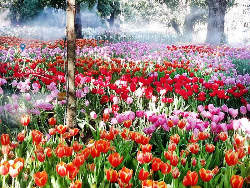 tulip farm in thailand Suan Tung Lae Khom Chiang Rai Park tulip farm