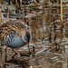 Water Rail by Roantrum
