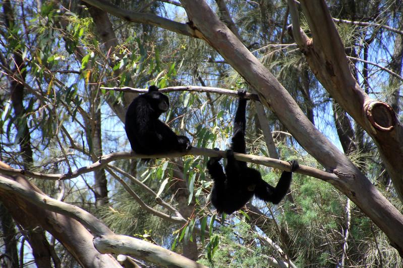 Simang Apes brachiating.