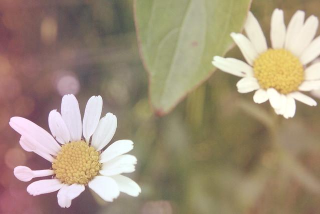DaisyDays