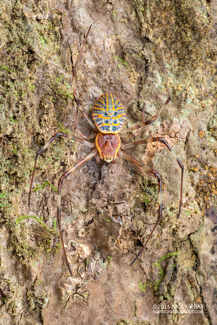 Ornamental tree trunk spider (Herennia sp.) - DSC_7748