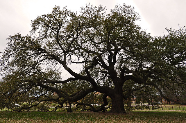 The Emancipation Oak (Quercus virginiana) (3)