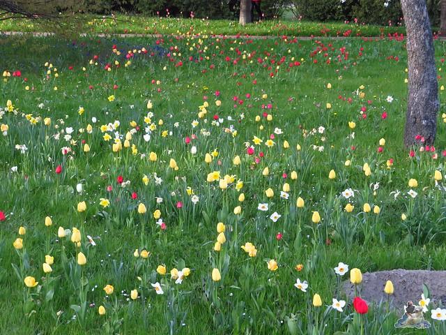Britzer Garten Tulipan 22.04.2016  0108