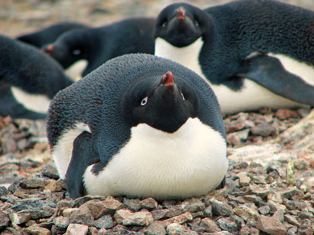 adelie penguin on 'nest' at gourdin island, antarctica 3