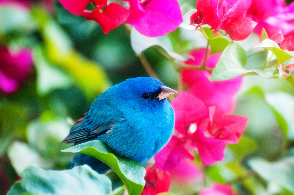 Pretty Indigo Bunting Chilling in My Bougainvillea on Easter Sunday, North Port, Florida March 27, 2016