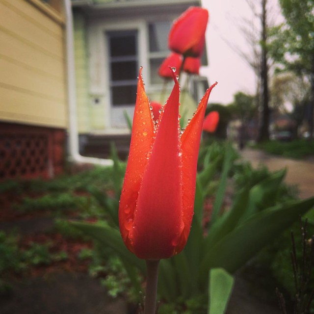 This tulip is different from the other ones - all spiky!