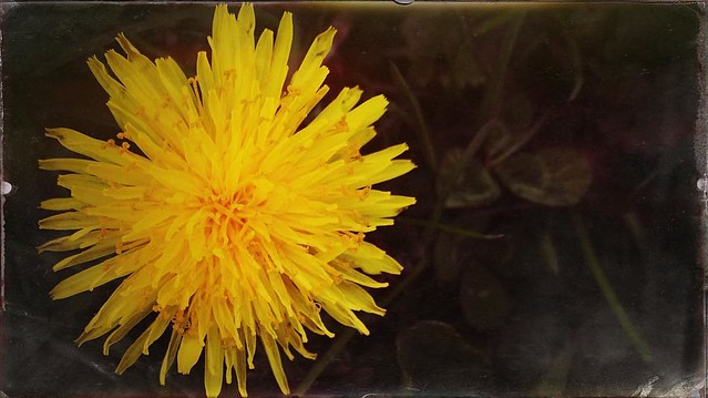 Dandelion #dandelions #wildflowers #spring #bloomingtonindiana