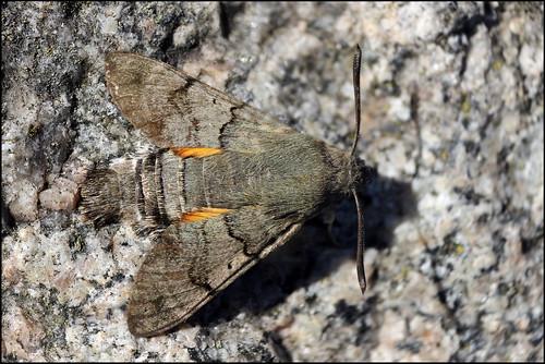 Traça Esfinge-beija-flor (Macroglossum stellatarum) - Humming-bird Hawk-moth