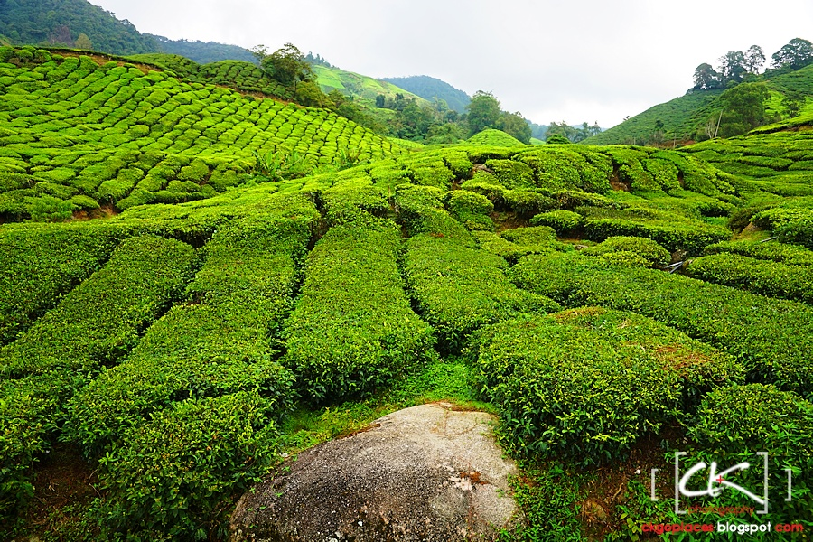 Cameron_Highlands_016
