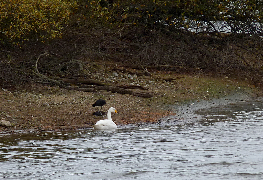Whooper Swan Reservoir 29Nov15