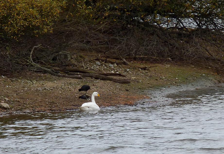Whooper Swan Reservoir 29Nov15