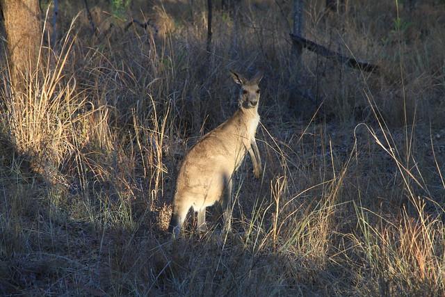 Eastern Grey Kangaroo-澳洲昆士蘭Undara Experience-20141116-賴鵬智攝-1