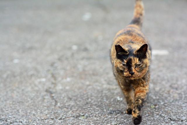 歩いて近づいてくるネコの写真
